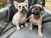 Lilac Tan Platinum Boy & Blue Fawn Girl (8 Weeks Old & Ready To Leave)