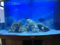 Juwel fish tank and Malawi cichlids for sale