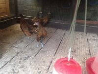 GOLD SEBRIGHT BANTAM PULLETS (HENS)