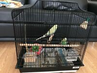 Beautiful pair of Young Budgies very healthy active and colourful with cage and accessories