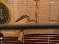3 zebra finches 1 male and 2 female