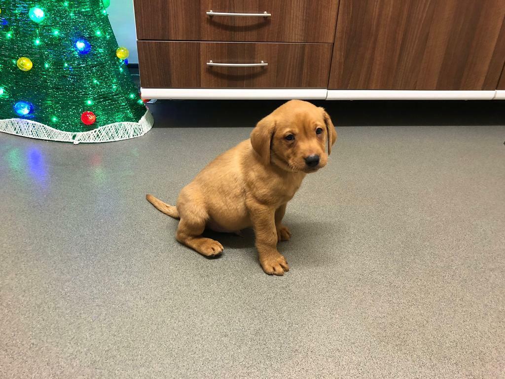 Sold Fox Red Labrador Puppies In Ferryhill County Durham Gumtree