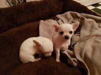 Tiny teacup pedigree white chihuahuas