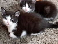 Black and white fluffy kittens. 9 weeks old