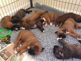 Beautiful KC registered Boxer Puppies for sale