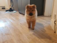 Male Chow chow puppy for sale