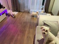 5 Beautiful Bichon Frise Puppies