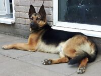 Rehabilitated german shepherd. 1yr old needs loving home as hes now ready.