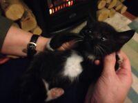 2 black and white kittens 1 black