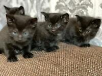 Wee black kittens with white stars on chest. 3 boys 1 girl ready in 3 weeks