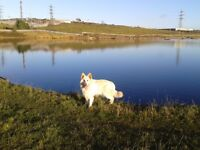 5 GENERATION Male white German Shepard for sale GOOD HOME ONLY