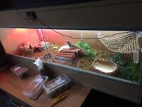 Bearded dragon + vivarium set