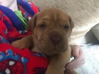 Douge de Bordeaux puppy's