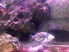Picasso Trigger fish, marine fish