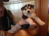 gawjus blue eyed husky mute puppies
