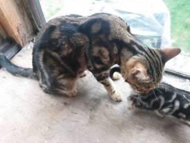 Beatiful Bengal Marbel Queen with Pure Bengal Kitten