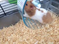 syrian hamster And cages