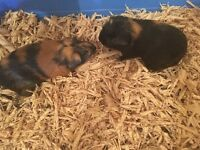 2 female guniea pigs for sale