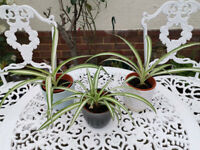 House/Spider Plants included pots