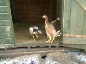 4 shamo hens