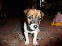 Parson Terrier pups for sale