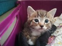 Beautiful half ragdoll kittens for sale