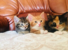 two male kittens for sale four female kittens for sale