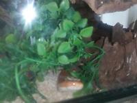 Female orange corn snake