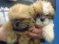 Gorgeous Pedigree Shih tzu Puppies, Ready Now