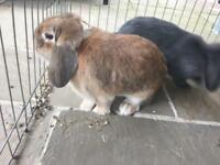 Lop eared Rabbits (females)