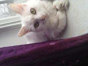 All white cat with extra toes looking for a home