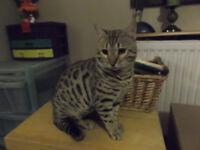 Cat - Bengal male pedigree