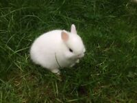 Pure Netherland Dwarf rabbit 8 weeks old baby