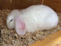 Rabbits white male