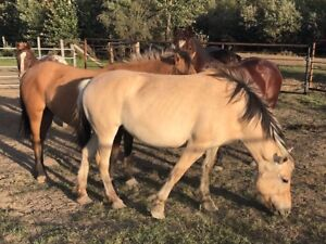 Fjord mares for sale