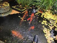 Koi & other fish for sale