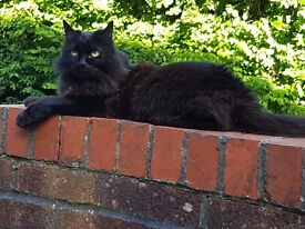 6/7yr old loving female black cat called Rosie