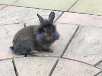 Beautiful lionhead rabbit for sale