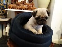 Stunning Pug Puppy For Sale