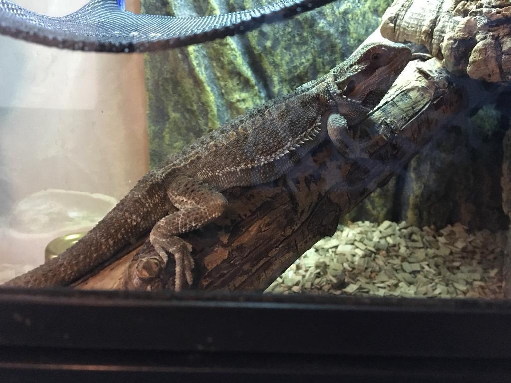 Juvenile bearded dragon with exo terra