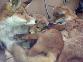 RARE FOX FAMILY with CUB Taxidermy on wooden base