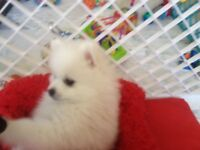 Adorable Spitz puppy for sale