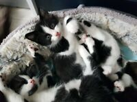 RAGDOLL X KITTENS all reserved now