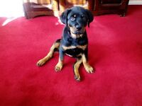 rottweiler girl pup for sale microchipped had full vaccinated 14weeks old house trained