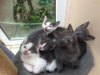 Kittens ready now blue / white / grey