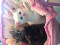 ADORABLE PERSIAN MIX KITTENS FOR SALE!!!!!