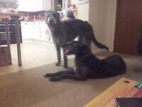 Beautiful Deerhound Lurcher Puppies for sale