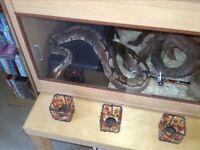 Royal Python and full set for sale .