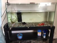 New Home needed for 2 fantail goldfish tank and stand included