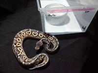 babies, ball pythons snakes. Blow out SALE !!!